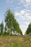 Rowan-tree in a row Royalty Free Stock Photography
