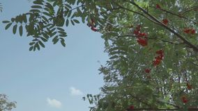 Rowan tree with rowan berries in the wind in slow motion. Sky background. Rowan tree with rowan berries in the wind in slow motion. Blue sky background stock video footage