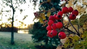 Rowan tree with rowan berry Royalty Free Stock Photography