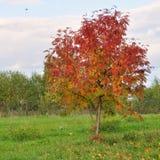 Rowan tree. Royalty Free Stock Photos