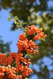 Rowan-tree with rowanberry. Istanbul Turkey Stock Photography