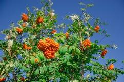 Rowan tree. Rowanberry on the tree at summer. bunch,  leaves Stock Image