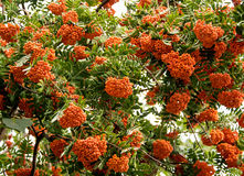 Rowan tree Stock Photography