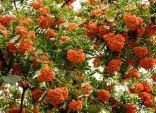 Rowan tree. On the sky Stock Photography