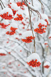 Rowan tree in the snow Stock Image