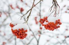 Rowan tree in the snow Stock Photo