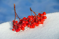 Rowan tree in the snow Royalty Free Stock Images