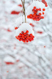 Rowan tree in the snow Royalty Free Stock Photo