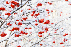 Rowan tree in the snow Stock Photo