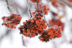 Rowan tree in the snow Royalty Free Stock Photography