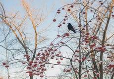 Rowan tree in the snow Royalty Free Stock Photography