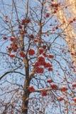 Rowan tree in the snow Stock Photos