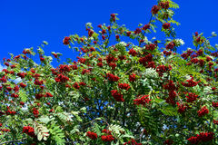 Rowan tree Sorbus aucuparia Stock Photography