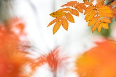 Tree leaves in autumn colors. Rowan tree Sorbus aucuparia leaves in bright and vivid autumn colors stock image