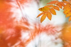 Tree leaves in autumn colors. Rowan tree Sorbus aucuparia leaves in bright and vivid autumn colors stock photo
