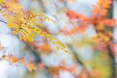 Tree leaves in autumn colors. Rowan tree Sorbus aucuparia leaves in bright and vivid autumn colors royalty free stock photography