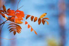 Colorful autumn leaves against blue sky. Rowan tree Sorbus aucuparia leaves in bright autumn colors against blue sky stock photography