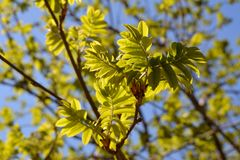 Rowan tree in spring. Young green leaves in sunny day.  Stock Image