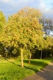 Rowan tree at sunny day. Stock Image