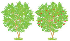 Rowan. Tree, vector illustration on a white background Stock Images
