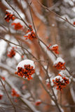 Rowan tree in winter Stock Photo