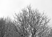 Rowan Tree in Winter Royalty Free Stock Photography