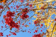 Rowan tree and blue sky on a sunny day. Rowan tree with yellow leaves and red berries in the autumn on a background of blue sky on a sunny day royalty free stock images