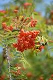 Rowan. Tree that yields fruit rowan royalty free stock photography