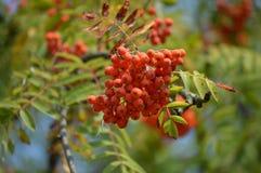 Rowan. Tree that yields fruit rowan royalty free stock photo