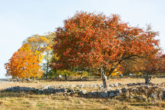 Rowan Trees with autumn colors Stock Image
