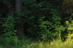 Rowan trees. Stock Images