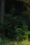 Rowan trees. Royalty Free Stock Images