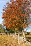 Rowan Trees met de herfstkleuren Stock Afbeelding