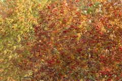 Rowan tree in autumn with yellow orange leaves and red berries; Fishland-Darss-Zingst, Baltic Sea, Germany, Europe royalty free stock photos