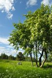 Rowan trees in bloom in the meadow. Rowan trees Sorbus aucuparia in bloom in the meadow Stock Photo