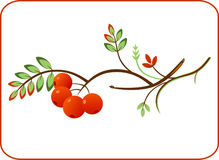 Rowan twig. Vector illustration of a rowan twig wiht ashberry. Natural ornament Royalty Free Stock Photo