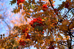 Rowan twig. On the sky Royalty Free Stock Images