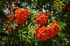 The rowan twig with ripe red berries on a tree stock photo