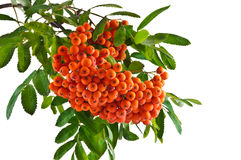 The rowan twig with ripe red berries on a white background Stock Images
