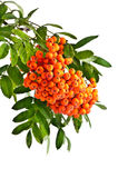 Rowan twig with ripe red berries on a white background Stock Images