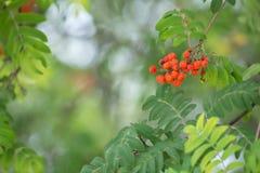Rowan twig, Sorbus aucuparia with berries in late summer. Closeup of a rowan twig, Sorbus aucuparia with berries in late summer stock image
