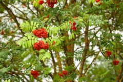 The rowan twigs with ripe red berries. On a tree Royalty Free Stock Image