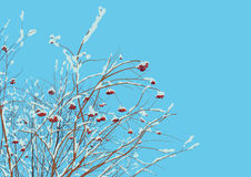 Rowan twigs after snowfall Royalty Free Stock Photo