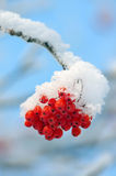 Rowan under snow Royalty Free Stock Images