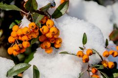 Rowan under the snow royalty free stock photo