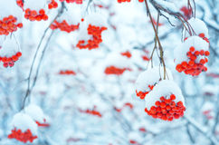 Rowan under snow Royalty Free Stock Photos