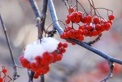 Rowan vermelho fotografia de stock