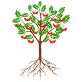 Rowan vermelho com bagas e raizes em um fundo branco imagem de stock royalty free