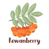 Rowan forest berry. Rowan - vintage illustration of forest berry with torn edges and brush effect. Vector stock illustration