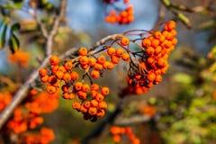 Rowan w jesieni Fotografia Stock